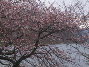 洞爺湖に咲いたエゾヤマザクラ