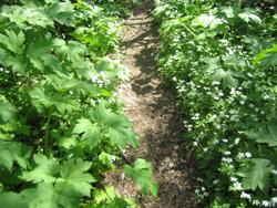 ニリンソウの咲くトレイル