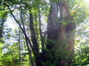 樹齢1000年のカツラの木